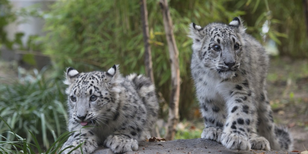 Snow Leopard at Central Park Zoo